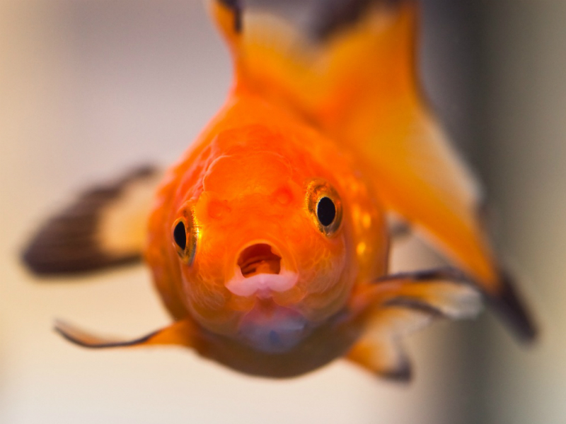 Judgmental Goldfish